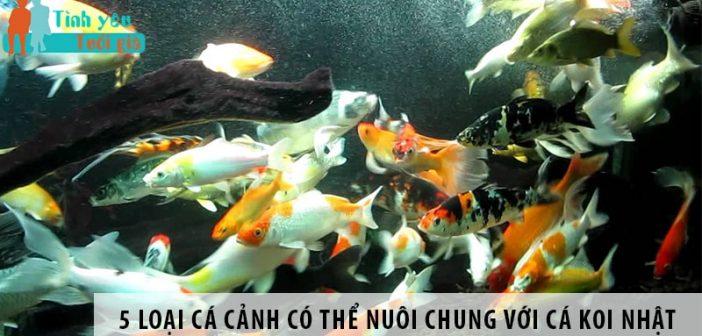 5 loại cá cảnh có thể nuôi chung với cá koi Nhật