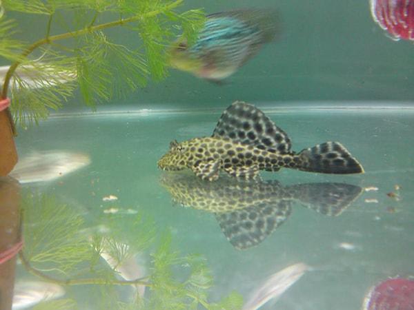 Cá dọn bể là loại cá rất dễ sống nên có thể nuôi cùng cá koi