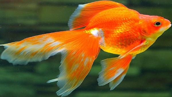 Cá vàng có nhiệt độ sống tương đối giống cá koi