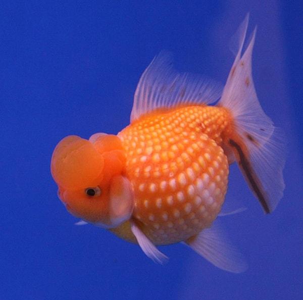 Cá 3 đuôi dễ sống, dễ nuôi nên có thể nuôi chung với cá koi