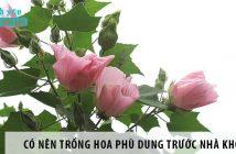Có nên trồng hoa Phù Dung trước nhà không?