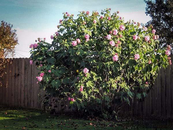 Trồng cây hoa phù dung trước nhà