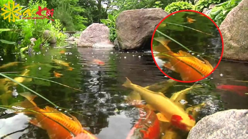 Nước hồ Koi bị đục và nổi nhiều bọt trắng