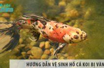 Hướng dẫn vệ sinh hồ cá Koi bị vàng hiệu qủa