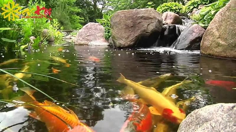 Nguồn nước hồ Koi được làm sạch sẽ trong hơn